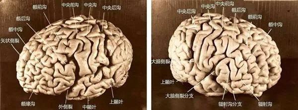 爱因斯坦的大脑有什么特别 爱因斯坦的大脑为什么被保存下来