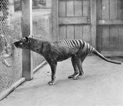 最稀有的袋鼬科动物_度哥世界之最