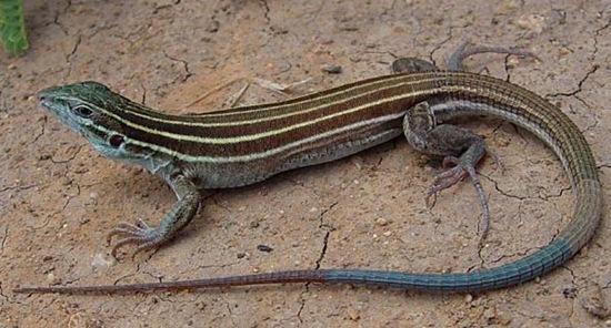 速度最快的爬行动物六纹鞭尾蜥