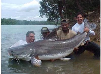 也有人认为世界最大的淡水鱼应该是湄公河巨型鲶鱼