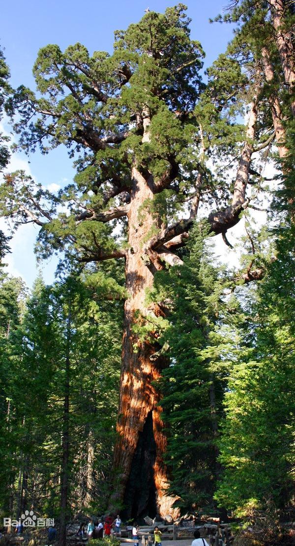 巨杉──体积最大的树