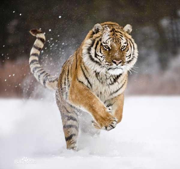 世界最大的老虎-东北虎