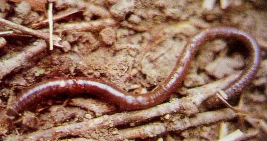 蚯蚓一般是褐色的,细长、圆柱形的身体由许多环节组成,头尾稍 尖,除前两节外,其余体节上都长着刚毛。蚯蚓是耕耘土壤的大力 士,它们用刚毛支撑身体伸缩运动,在土里钻来钻去,使土壤变得疏 松,从而促进农作物的生长。蚯蚓喜欢温暖、湿润、阴暗的环境,喜欢安 静。蚯蚓白天一般柄息在潮湿、通气性能良好的土壤中,依靠皮肤吸收 溶解在水中的氧气,夜晚出来活动觅食,不过白天的雨后也常常可以看 到它们钻出地面来透气。蚯蚓食性很广,吃腐烂的落叶、枯草、禽畜粪、 人类生活垃圾等许多有机物质,起到了处理有机废物、净化环境的作 用