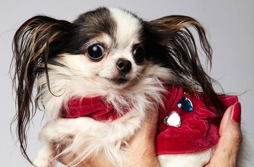 世界上最小的狗_度哥世界之最