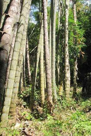 世界最大的竹子-巨龙竹