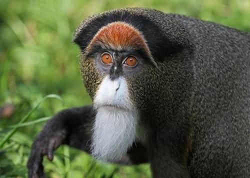 2.De Brazza的猴子 价值7000美元到一万美元