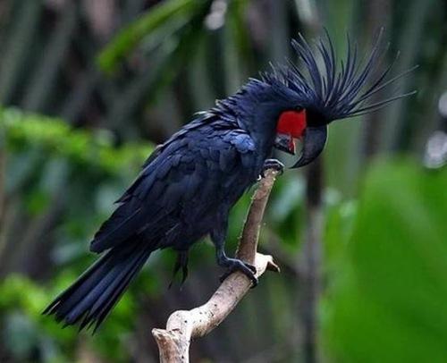 7。棕榈凤头鹦鹉 - 价值$ 16,000美元