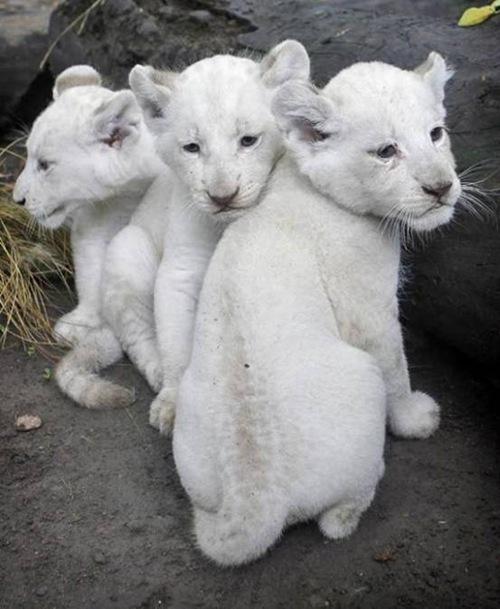 5.白狮崽 - 价值138000美元
