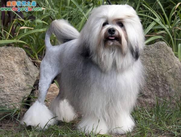 世界上最贵的狗的品种排名,最贵的狗乃捷克狼犬(无价)