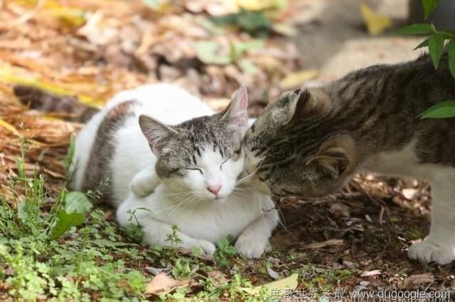 2017最萌的猫咪桌历《kiss & love 猫》被喵星人闪瞎