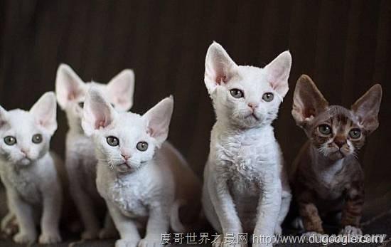 世界十大品种最名贵的猫