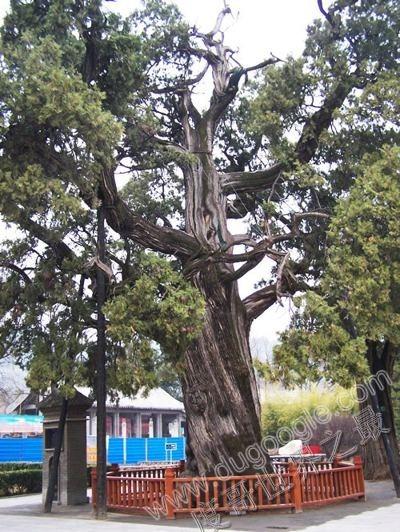 中国最古老的柏树 黄帝手植柏