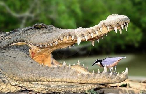 全球第一只装义肢尾巴的鳄鱼