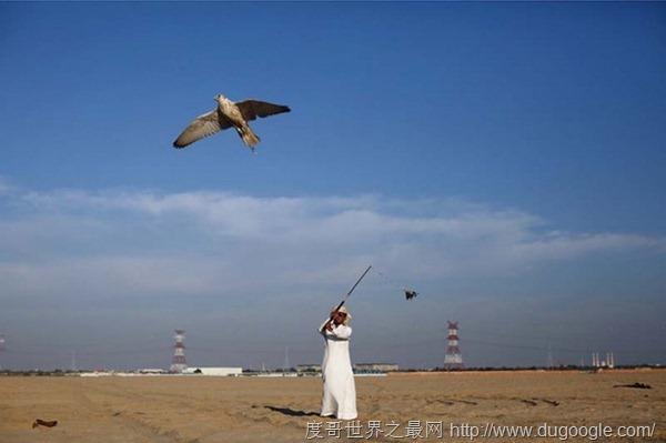 世界上最昂贵的宠物,迪拜的富豪们都是养鹰隼炫富