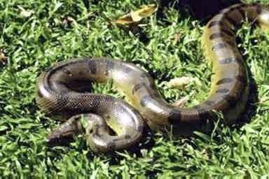 除此这外,度哥网再给大家介绍一些世界最大的蛇的资料 亚马逊森蚺.