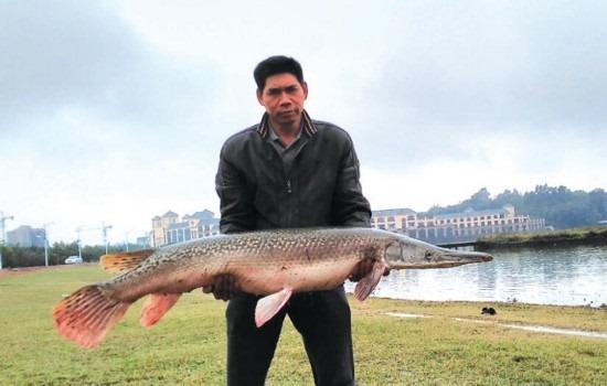 世界十大淡水凶猛鱼之一:鳄雀鳝