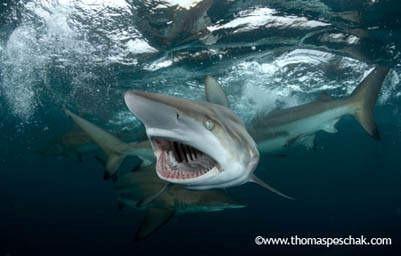 嗜血鲨鱼 九种最凶猛的鲨鱼