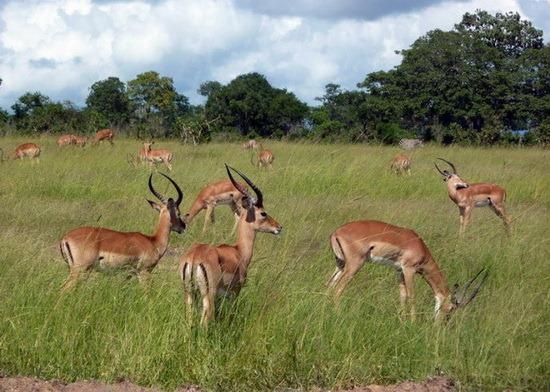 世界上最大的兽群 南非小羚羊迁徙群