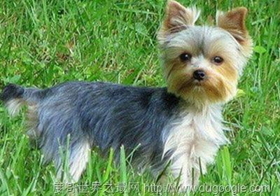 十大英国犬种盘点 苏格兰牧羊犬和牛头梗最出名