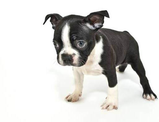 世界上最小的狗 世界上13种体型最小的茶杯狗_度哥之