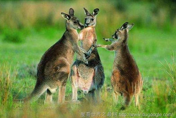 国外多到泛滥成灾的6种动物,强烈要求中国帮忙消灭