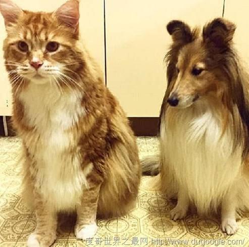 澳大利亚网红猫体长1米2 或打破吉尼斯世界纪录