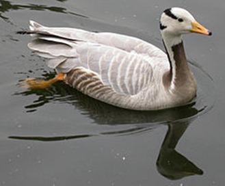 世界上飞得最高的鸟类就是大雁 斑头雁 斑头雁图片资料