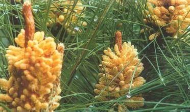 植物花粉的世界之最