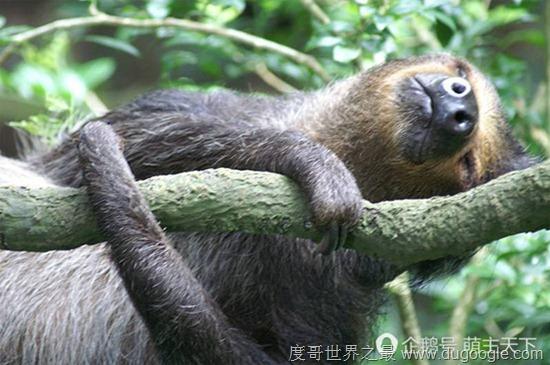 树懒,可以说是在动物王国中最懒的动物之一.