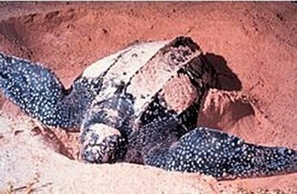 海龟是世界最长寿的动物 海龟物种分类
