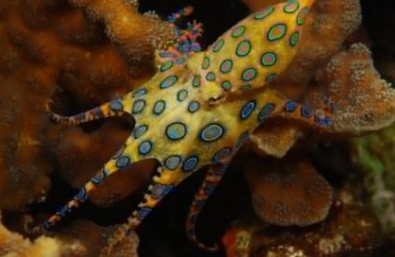 蓝环章鱼单身湾海豚v章鱼图片