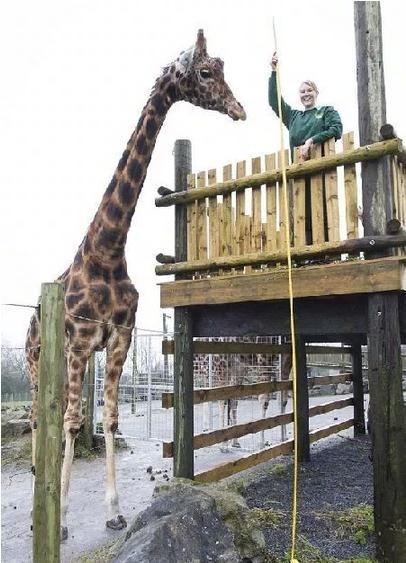 历来最高的长颈鹿是伦敦动物园的「乔治」
