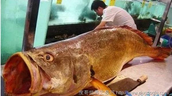 金钱鳘347万/血红龙500万 世界最贵的鱼是什么鱼