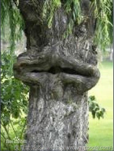吃人植物食人柳,食人柳树真的存在吗