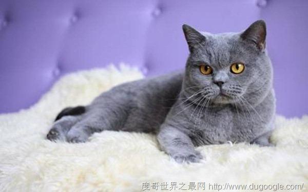 世界十大品种最高贵的猫 德文莱克斯猫最可爱
