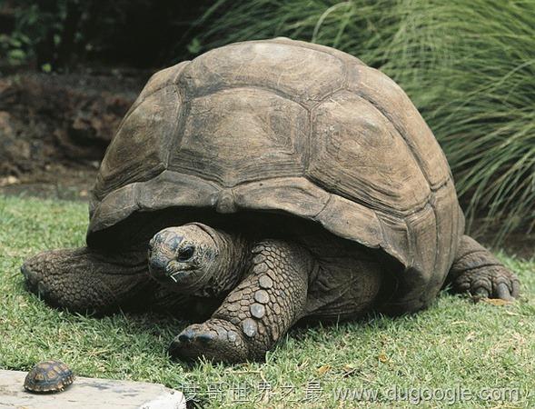 加拉帕戈斯象龟 世界上最大的乌龟 世界八大陆龟排名