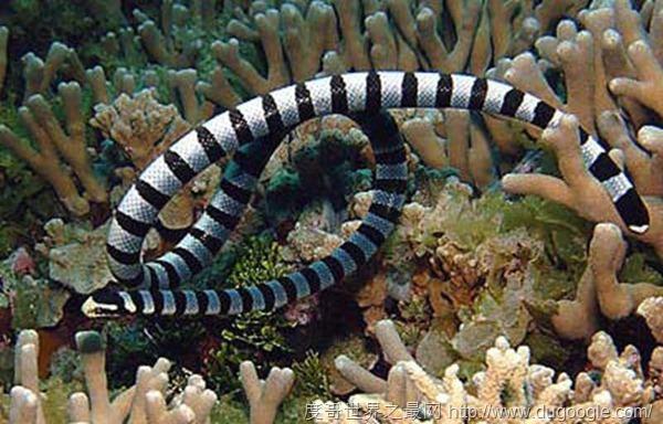 海洋中最毒的蛇之一:艾基特林海蛇