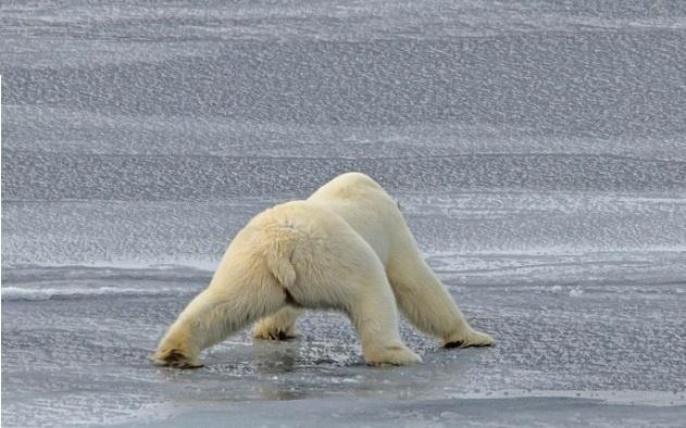 首页 动物世界大全 正文  一只北极熊在镜头前步履蹒跚,不时趴在冰上
