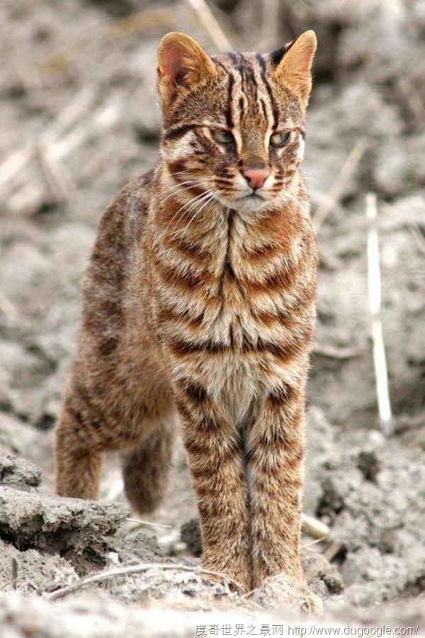 亚洲豹猫_第三位:亚洲豹猫