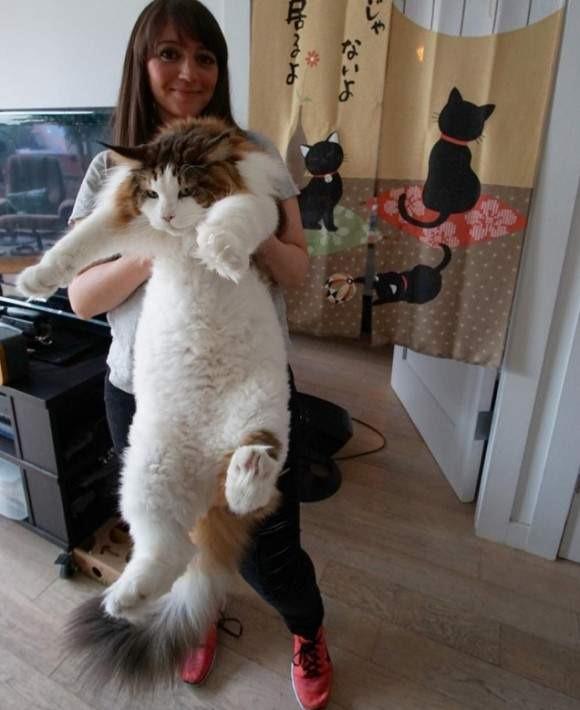 全纽约最巨大的猫 Samson