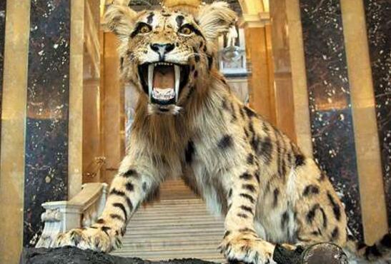 首页 动物世界大全 正文  恐猫和现代猫科动物极为相似,和剑齿虎共存