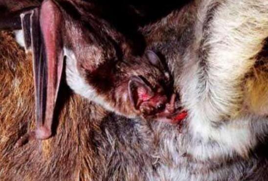 秘鲁军队抓到猪脸大蝙蝠,嗜血食肉凶猛又罕见