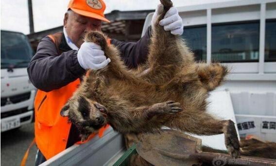 日本猎杀变异野猪现场,打不死野猪还容易被反杀