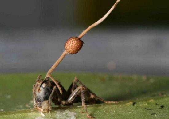 恐怖的僵尸蚂蚁,被真菌感染后行尸走肉的活着