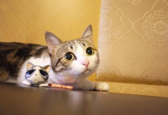 网红萌宠瓜皮猫是什么品种,其实是普通的中华田园猫