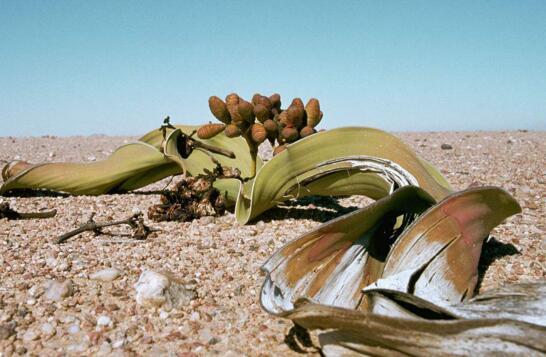 纳米布沙漠千岁兰蟒蛇王蛇吃眼睛视频图片