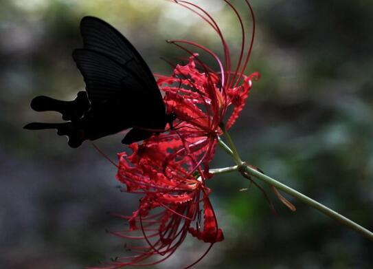 死人花开在墓地周围,鲜艳的血红色寓意死亡不详