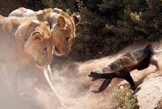 世界上最无所畏惧的动物,疯狂蜜獾vs四只狮子