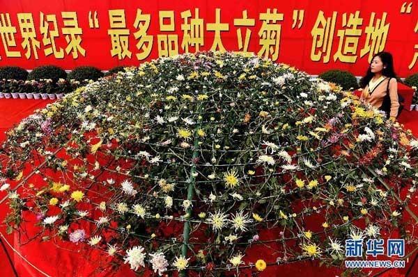 世界上嫁接品种最多的大立菊