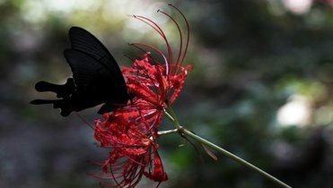 彼岸花被称为黄泉路上的花?关于它还有个凄美的传说